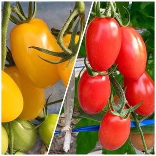 プラム型ミニトマト アイコ、イエローアイコ 3.5kg (野菜)
