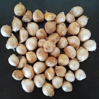 熊本県産 ジャンボニンニク(小) ばら500g(野菜)