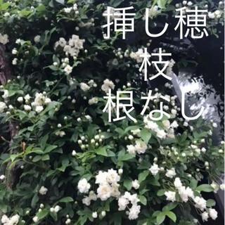(ᵔᴥᵔ)♡無農薬♡ モッコウバラ 白 八重 挿し穂 5本♡可愛いお庭♡アーチ♡(その他)