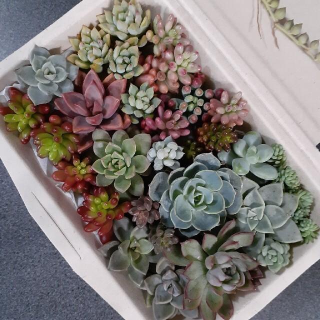 多肉植物 カット苗セット 寄せ植えに ハンドメイドのフラワー/ガーデン(その他)の商品写真