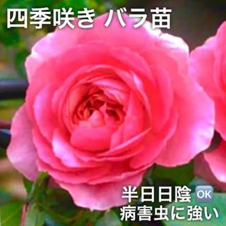 四季咲きバラ苗   大輪  ピンク 挿し木 ばら苗 薔薇苗(その他)
