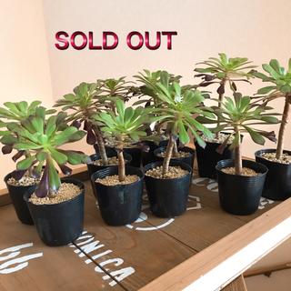 多肉植物 黒法師 売り切れました。(その他)