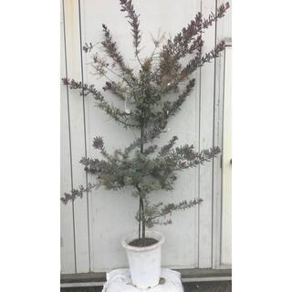 《現品》ミモザアカシア プルプレア 樹高1.7m(鉢含まず)02【鉢植え/苗木】(その他)