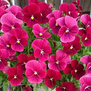 ビオラ ローズ ブロッチ 種 園芸 ガーデニング フラワーガーデン 花(その他)