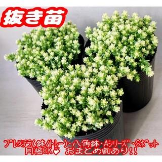 【抜き苗】アクレアウレウム 多肉植物 セダム 紅葉 プレステラ プラ鉢(その他)