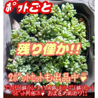 【ポットごと】パープルヘイズ 多肉植物 セダム 紅葉 プレステラ プラ鉢(その他)