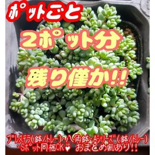 【ポットごと】パープルヘイズ×2 多肉植物 セダム 紅葉 プレステラ プラ鉢