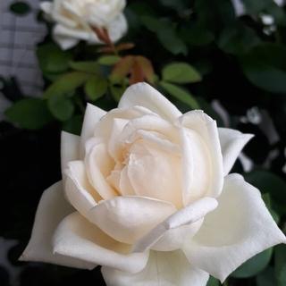 白バラ(その他)