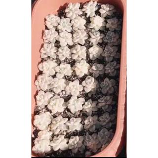 SALE価格♥️韓国多肉植物  Titubans錦  2個セット(その他)