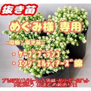【抜き苗】アクレアウレウム 他 多肉植物 セダム 紅葉 プレステラ プラ鉢(その他)