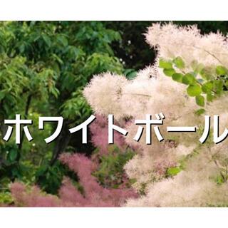スモークツリー苗 ホワイトボール 苗木(その他)