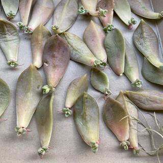 多肉植物★朧月葉挿し10枚