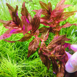 アクアデザインアマノ(Aqua Design Amano)のロタラマクランドラ 斑入り 10本 水中葉 無農薬(アクアリウム)