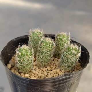 多肉植物   サボテン   赤花銀手毬   抜き苗(その他)