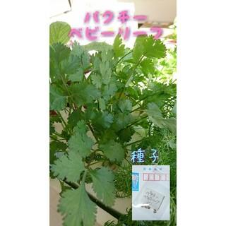 パクチーベビーリーフ 野菜の種 ハーブの種 固定種 有機種子 家庭菜園 水耕栽培(野菜)