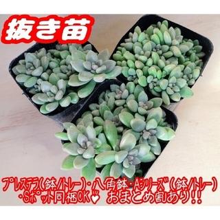 【抜き苗】姫秀麗 多肉植物 セダム 紅葉 プレステラ プラ鉢(その他)