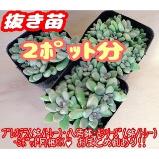 【抜き苗】姫秀麗×2 多肉植物 セダム 紅葉 プレステラ プラ鉢(その他)