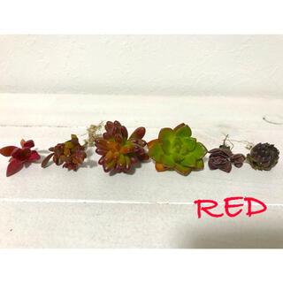 多肉植物 赤く色づく多肉 レティジア コーラルレッド(その他)