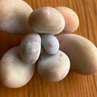 多肉植物 アメチスチヌム カット苗(その他)
