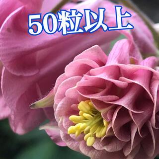 花種子 西洋オダマキ タワー咲き50粒(その他)