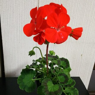 ゼラニウム 抜き苗 赤に近いオレンジ色(その他)