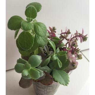 多肉植物6種アロマティカス胡蝶の舞カリシアロザート子宝草ベビーサンローズ不死鳥(その他)