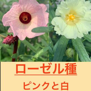 ローゼル種 ピンクと白 各50粒ずつ 最安(その他)
