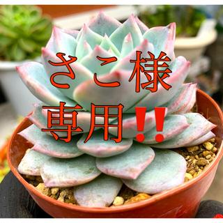 エケベリア ブルーバード❣️大苗 極美苗(その他)