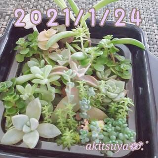 多肉植物 寄せ植え 根付き 容器ごと パープルヘイズ セダムミックス(その他)
