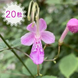 20粒🦋種 カリガネソウ ピンクバタフライ 山野草 ピンク 蝶の様な花(その他)