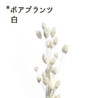 ポアプランツ 白 5本(ドライフラワー)
