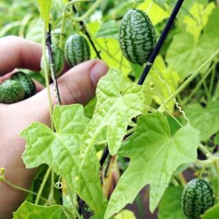 昨年秋に収穫した珍しくて美味しい野菜の種に成ります❕o1/25-11(野菜)