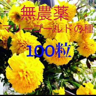 無農薬マリーゴールドの種R2年秋産 100粒 花の種(その他)