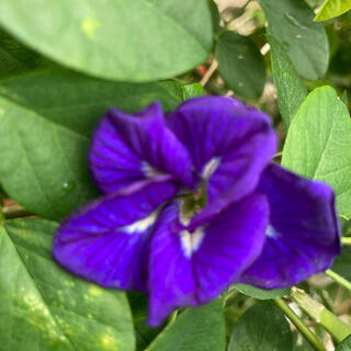 バタフライピー 八重咲き種20粒(プランター)