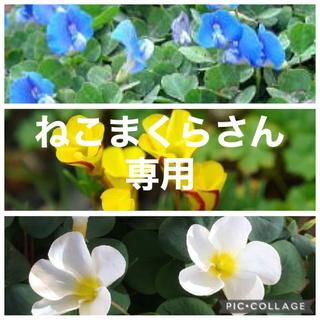 今オキザリス苗 3種5苗 イングリッシュガーデン (RD150)(その他)