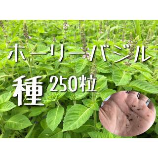 ホーリーバジルの種 250粒