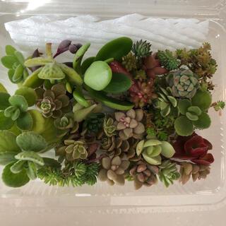 【多肉植物】ゼダムいろいろカット苗のセット