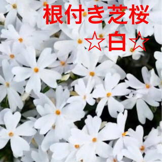 ☆今春に増えて咲く❣️根付き苗☆芝桜☆白☆初心者向け☆(プランター)