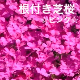 ☆今春に増えて咲く❣️根付き苗☆芝桜☆ピンク☆初心者向け☆(プランター)