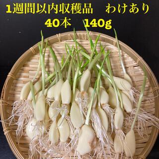 発芽ニンニク(ニンニクスプラウト)わけあり40本(野菜)
