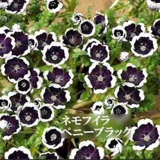 寒冷地の春まき花の種  ネモフィラ・ペニーブラック 50粒(その他)