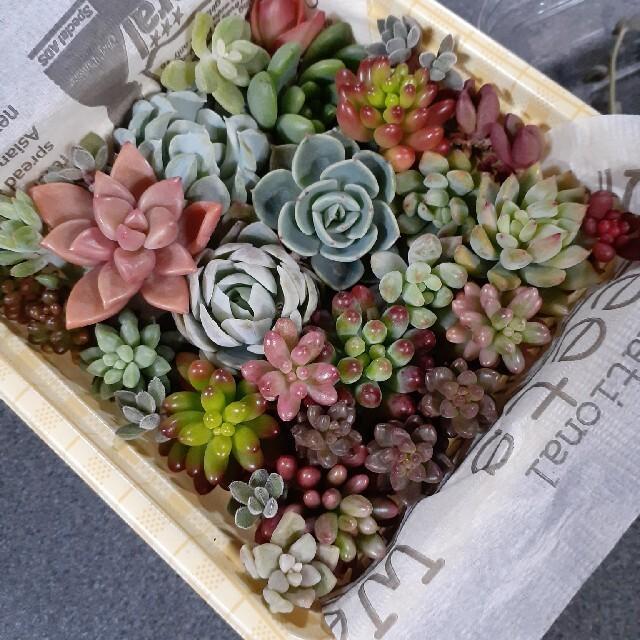 多肉植物カット苗セット 寄せ植えに ハンドメイドのフラワー/ガーデン(その他)の商品写真