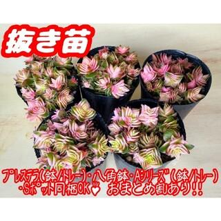 【抜き苗】茜の塔錦 多肉植物 クラッスラ 紅葉 プレステラ プラ鉢(その他)