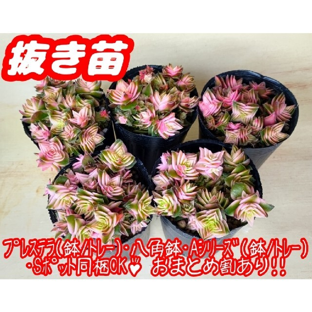 【抜き苗】茜の塔錦 多肉植物 クラッスラ 紅葉 プレステラ プラ鉢 ハンドメイドのフラワー/ガーデン(その他)の商品写真