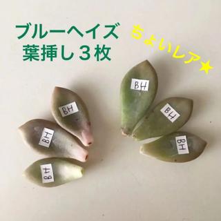【葉挿し・3枚】ブルーヘイズ(多肉植物)ちょいレア★(その他)
