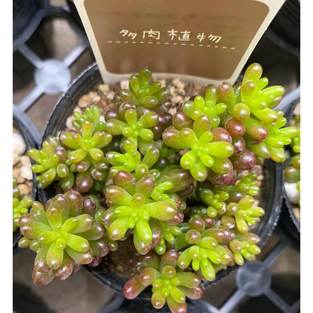 レッドベリー 多肉植物 ハンドメイドのフラワー/ガーデン(その他)の商品写真