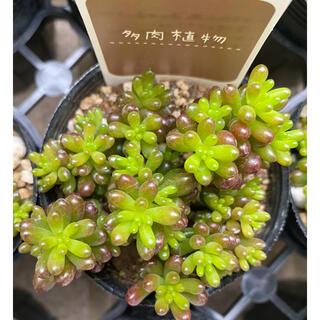 レッドベリー 多肉植物(その他)