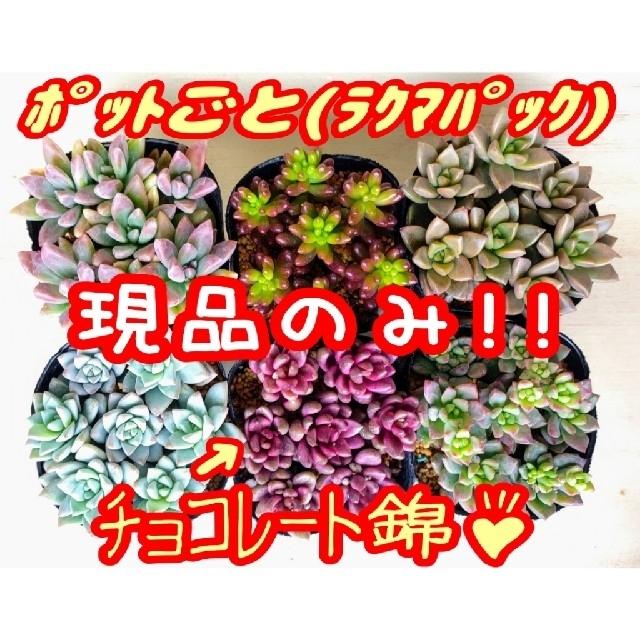 現品のみ【レアあり】6ポットセット ④ 多肉植物 プレステラ プラ鉢 ハンドメイドのフラワー/ガーデン(その他)の商品写真