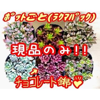 現品のみ【レアあり】6ポットセット ④ 多肉植物 プレステラ プラ鉢(その他)