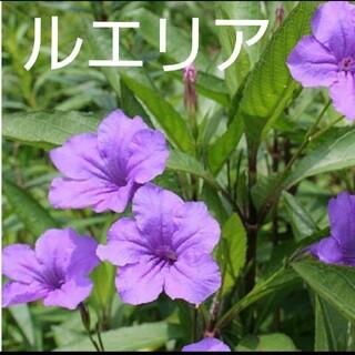 紫の花ルエリア☆種(その他)